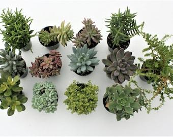 PICK 3 - Medium Succulents