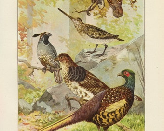 Vintage 1907 Book Plate — Common Game Birds