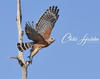 Florida Bird Wildlife, Photo, Red Shouldered Hawk Picture, Brown Blue Artwork, In Flight, Takeoff, Wall Art, Raptor