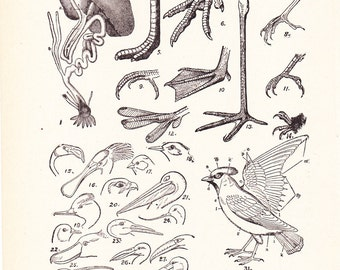 1920s Bird Print - Anatomy of Birds - Vintage Antique Home Decor Book Plate Art Illustration for Framing 95 Years Old