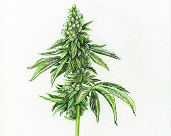 Cannabis Scientific Illustration - Sour Diesel Sketch - Aiyana Udesen