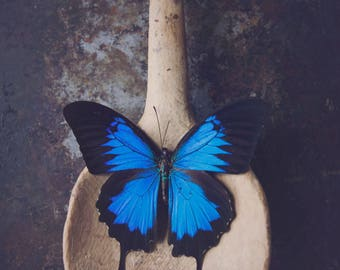Blue Butterfly ~ 5x7 photo print