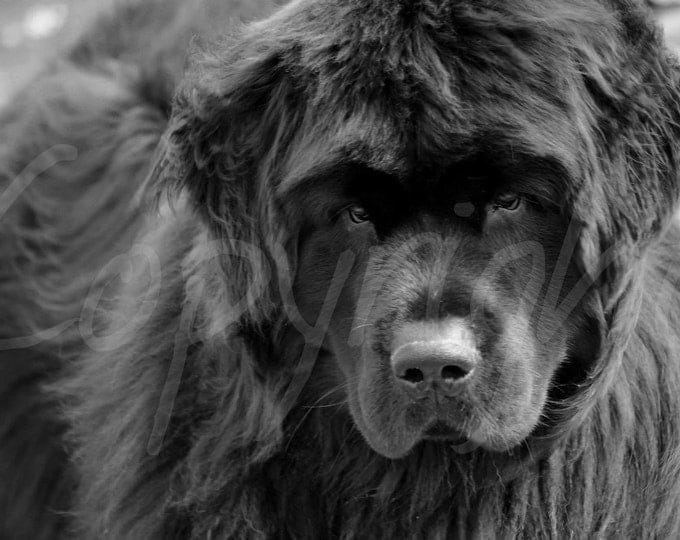 Newfoundland Dog, Black and White Photography, Print or Greeting Card, Wall Art, Home Decor, Gift Idea, Love of Dogs