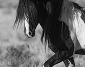 Washakie's Pride - Fine Art Wild Horse Photograph - Wild Horse - Black and White - Washakie