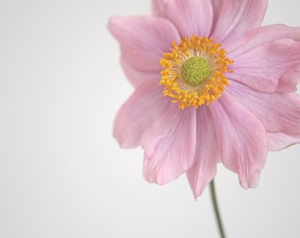 Flower Photography, Japanese Anemone, Flower Photo, Fine Art Print, Pink Flower, Floral Photography, Close Up, Studio