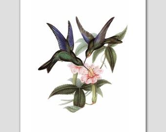 Hummingbird Art, Bird Print (Cottage Chic Wall Decor, Blue Green Nature Illustration) -- 8x10 or 11x14 -- Antique Artist John Gould Artwork