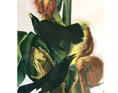 RESERVED FOR LAUREN Framed Audobon Print Purple Grackle in Corn Print - 1940s copy 1 male 1 female plant vlugo indian corn