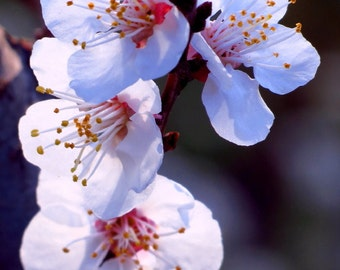 Peach Tree Blossoms by Catherine Roché, Spring Nature Photography, White Flowers Photography, Flowering Peach Tree Photography, Fine Art