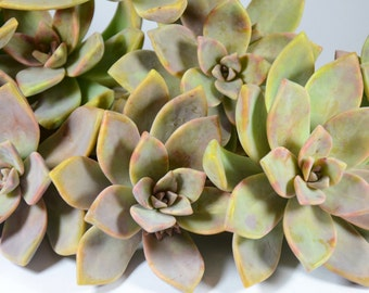 10 Succulent Cuttings | Graptopetalum Paraguayense | Ghost Plant | Mother of Pearl