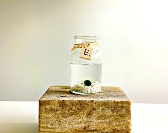 Terrarium- marimo Ball , Japanese Moss Ball - With personalized monogram scrabble letter glass vase marimo terraium