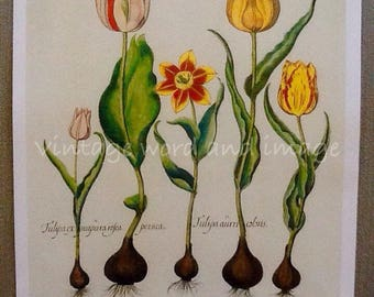 Besler Tulip Art Print Vintage Lithograph Home Office Botanical Decor Variegated Orange Red Yellow Basilius Reprint Book Plate Floral Flower
