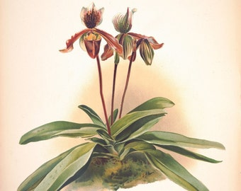 These are 1800's era natural history illustrations and prints of Orchids. Digitally restored and printed.