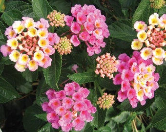 Lantana Elegance Plant - Pinkish/Orange and yellow flowers - plants in 2.5 inch pot