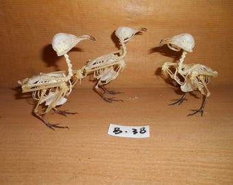 Taxidermy Bird Frogmouth Skeleton 3 Pcs