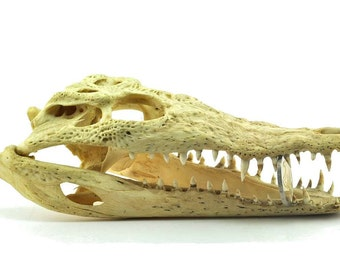 Crocodile skeleton skull - 20 cm