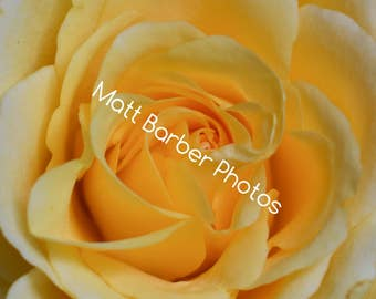 Yellow Rose Canvas (Small)
