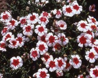 Chinese Pink Merry-Go-Round Flower Seeds/Dianthus Chinensis/Annual    40+