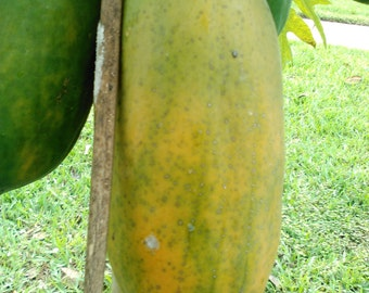 Fresh Papaya Fruit - red lady variety - 3 to 6 pounds - USA grown product