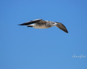 Seagull in Flight, Flying Seagull Photo, Seagull Photography, Airborne Seagull Photo