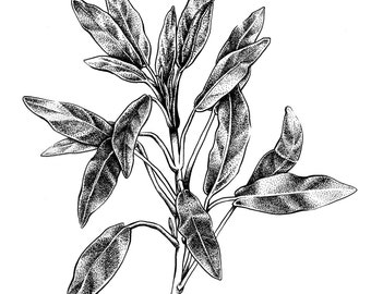 SALE, Simple Herb Print, Botanical Print, Garden Print, Sage, Kitchen Decor, Kitchen Art, Kitchen Print, Herb Print, Plant Drawing, Cooking