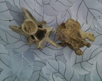 two deer vertebaes//4 1/2 inches//foraged/blackswamp//ohio