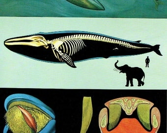 Old School Poster Zoology 1990 Jung-Koch-Quentell Fanons Skeleton Blue Whale Blue Whale