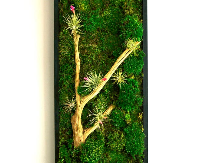 "Moss Wall Art ~ Moss Art Work ~ REAL Preserved Moss ~ No Maintenance Required Moss ""Living"" Wall w/ Air Plants ~ 36x16"" ~ ""Dessert Bloom"""