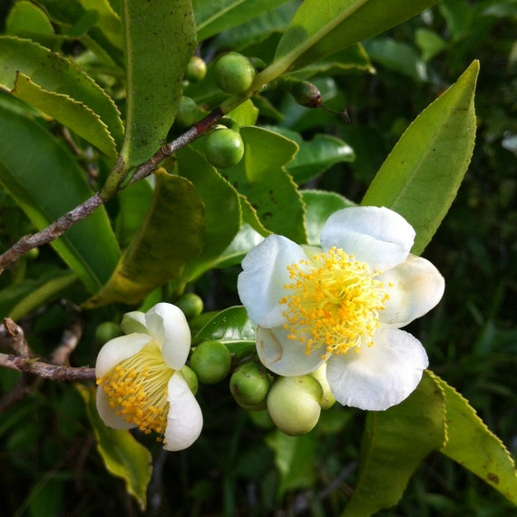 Grow your own tea 6 camellia sinensis tea plants from - Camelia planta ...