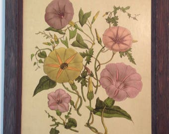 Vintage drymounted lithograph of pink, yellow, lavender morning glories in drftwood style wood frame