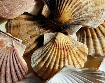 Scottish king scallop clamshells, two shells (one matched pair).