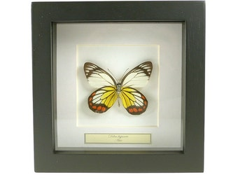 Mounted butterfly Delias hyparete under side in a frame 16x16cm