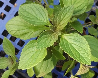 African Potato Mint - Plectranthus rotundifolius - 3 Live Plant Plugs or 1 Potted Plant