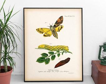 Natural history print, Moth print, Antique entomology art, Vintage insect print, Instant download printable art, Insect illustration, JPG