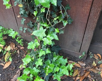 Organic Live California English Ivy Cuttings