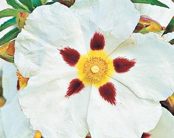 Labdanum (Cistus ladaniferus) Organic Absolute