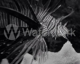 Fine Art Lionfish Black And White Digital Image (Rights Reserved). Invasive Lionfish Picture