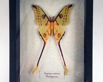 Real moth framed - Argema mittrei