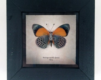 Real butterfly framed - Asterope markii davisii