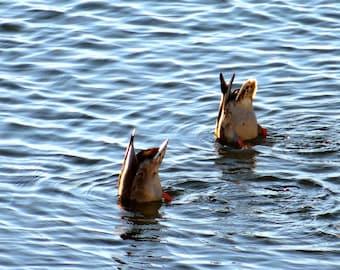 Duckdiving Picture Ducks Print