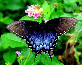 Black Swallowtail on Lantana
