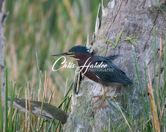 Bird Photo, Florida Wildlife, Green Heron Picture, Blue Brown Artwork