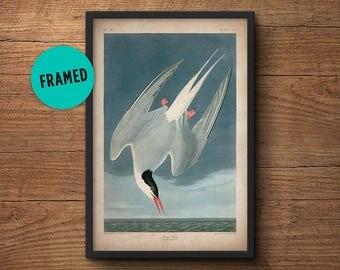 Audubon bird print, Framed art, Arctic Tern, Audubon print, Audubon poster, Birds of America, John James Audubon, Framed print, Wall art