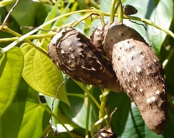 True Yam or Dioscorea alata
