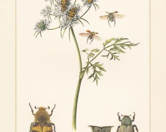 Vintage lithograph of scarab beetle, bee beetle from 1955