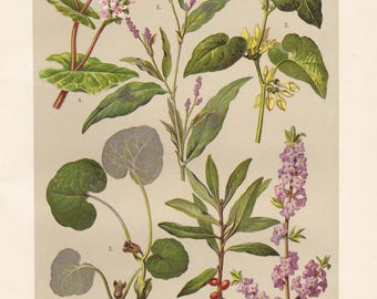Vintage lithograph of european birthwort, european wild ginger, buckwheat, mezereon from 1911
