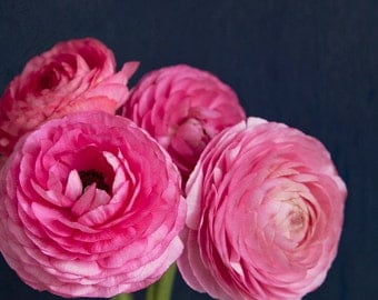 Nature photography, pink ranunculus photo, floral decor, flower photography, pink, navy blue, shabby chic decor - A Pink Bunch