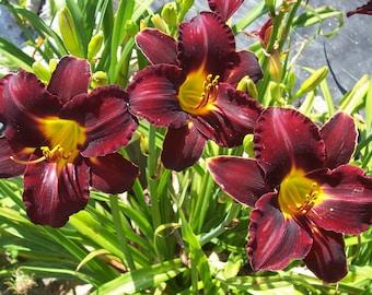 Daylily Plant - Velvety Look (S-849)