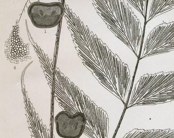 Vintage Botanical Print - Asplenium macrophyllum - 1936 Japanese Print - Plate 305- Home Decor - Gift for Her