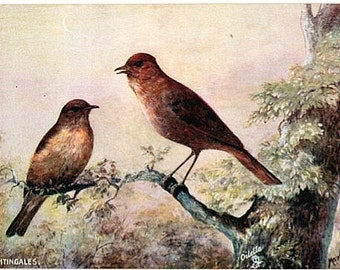 Antique Tuck Oilette Postcard - Nightingales -- Artist Signed, Maude Scrivener (Unused)