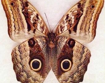 Owl Butterfly, Caligo martia, Glass Riker box display case, Insect, Bug, Oddity, Curiosity, Lepidoptera, Moth